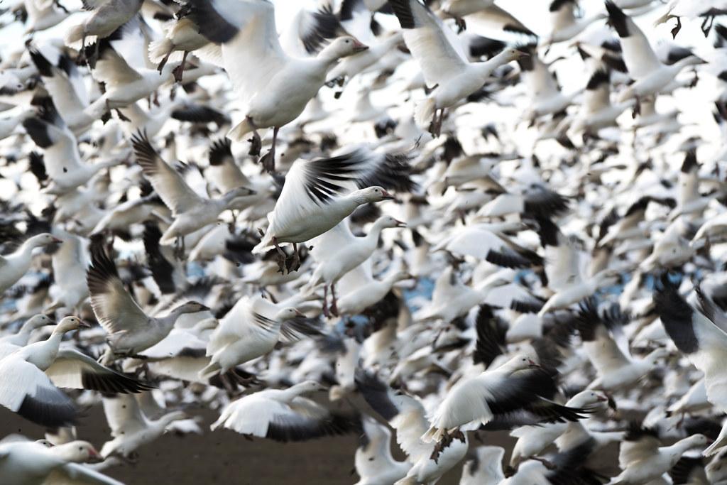 Geese flock 1 (1 of 1)