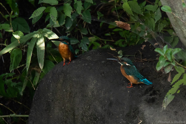 20181007-kingfisher-DSC_8962
