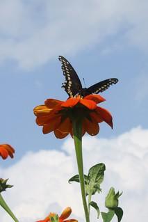 2018-9-21. Black Swallowtail 2