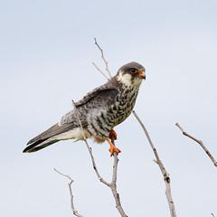 Amur falcon, Falco amurensis, female at Kruger Park