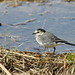 Pied Wagtail - Bachstelze