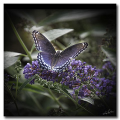 Another butterfly in my yard....