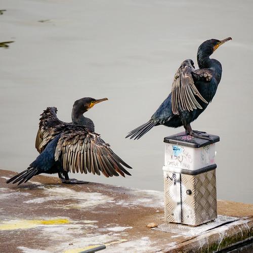Cormorant (or shag?)-2