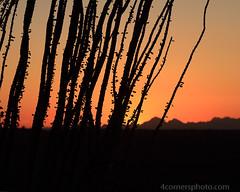 Dusk and Ocotillo, Pima County, AZ