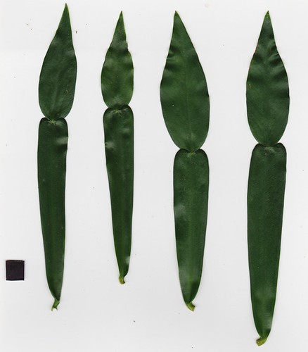 Pothos longipes1-2