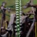 Spiranthes cernua (Nodding Ladies'-tresses orchid) by jimf_29605
