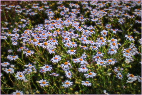 A sea of Scentless Mayweed
