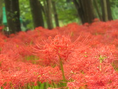 Spider Lilies in Kinchakuda