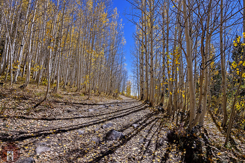 colorful autumn fall hiking biking colorado aspen trees forest shadows blue sky trail path walking camping picnicking rocky mountains southwest leaves golden yellow colors