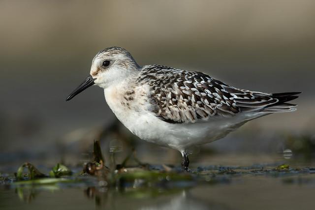 Bécasseau sanderling | Baie Missisquoi | Saint-Armand, Québec