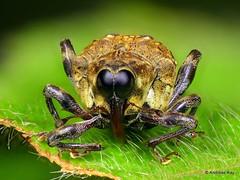 Weevil, Piazurus sp., Curculionidae