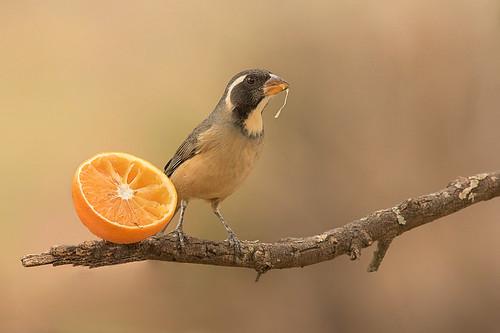 Pepitero de Collar - Saltator aurantiirostris - Golden-billed Saltator