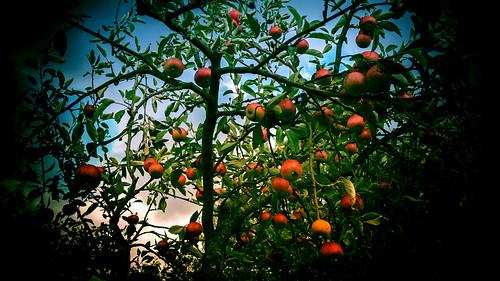 Der kleine Apfelbaum