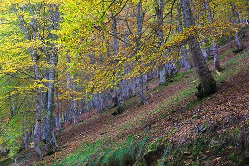 Bosque abedules otoño