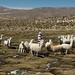 Rebaño de alpacas en el altiplano de Perú