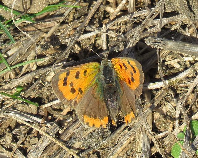 Small Copper - Lycaena phlaeas