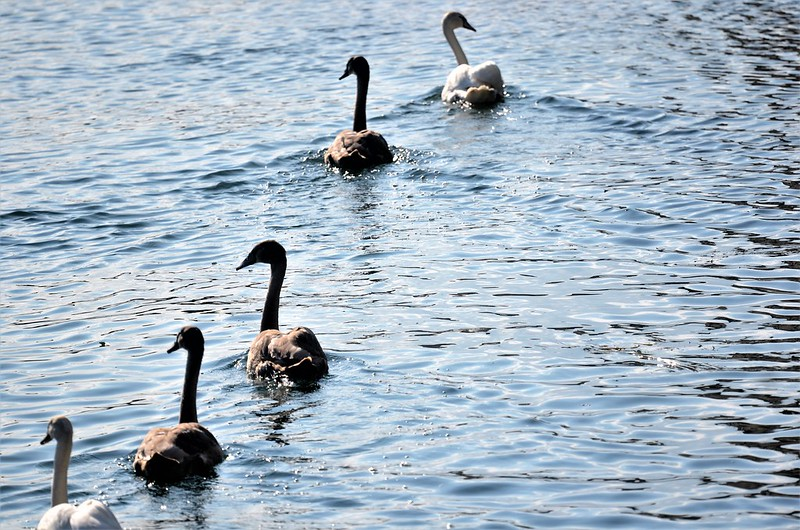 Swans 30.09 (7)