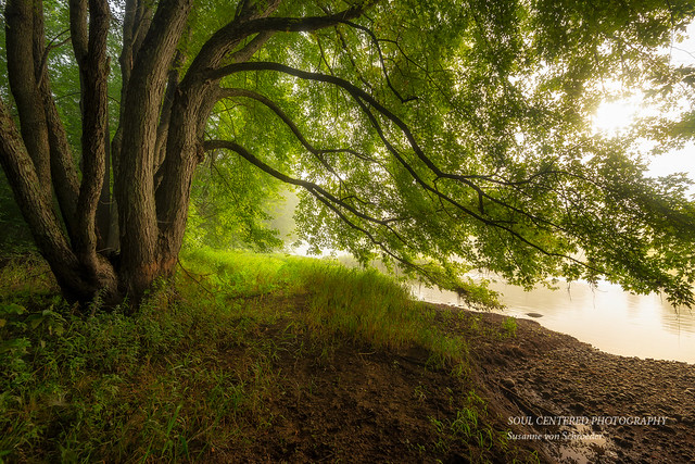 Maple tree arching across the Chippewa River