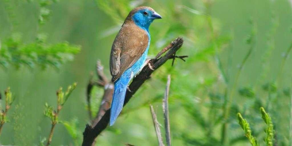 danse-nuptiale-oiseaux-chanteurs