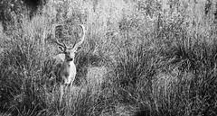 Buck in Grass