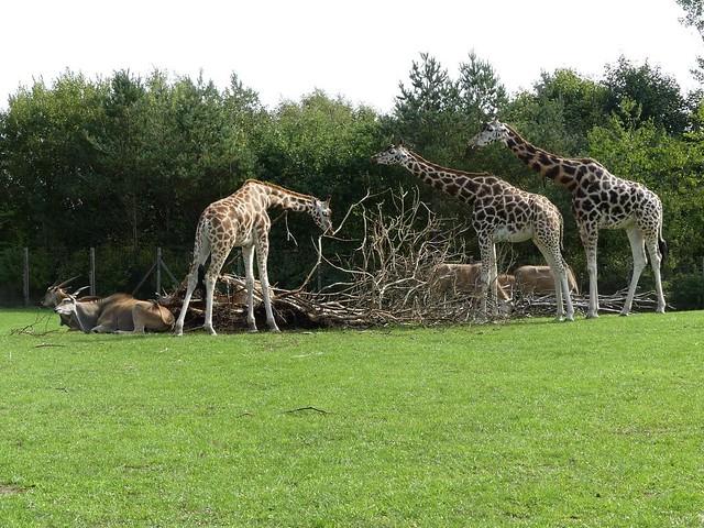 Rothschildgiraffe, Zoo Givskud