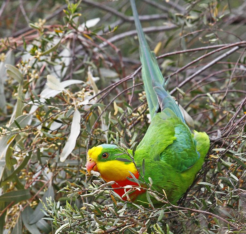 Superb Parrot N Bartlett