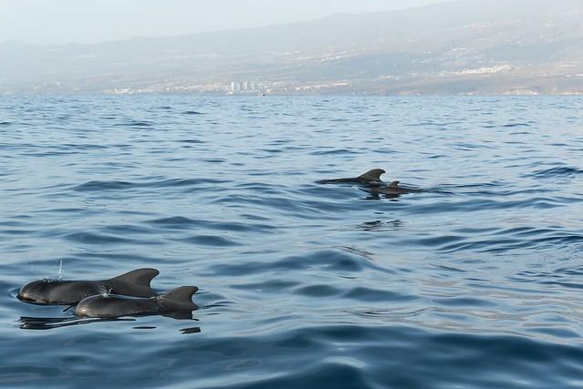 ver delfines y ballenas en tenerife