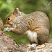 Grey Squirrel at Stover Country Park