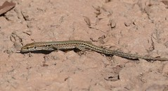 Common Wall Lizard (Podarcis muralis) female