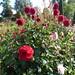 Dahlias at Godinton House & Gardens