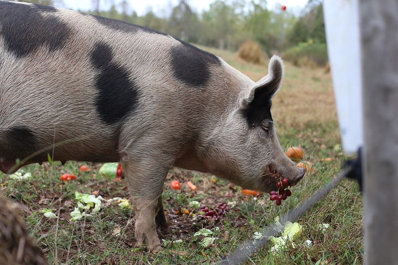 giving treats to the pigs