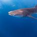 Eye in Eye with the Whaleshark by Alexandra1183