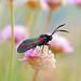 Six-spot Burnet, St Bees Head, Cumbria, England