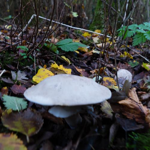 Autumn fungi: wood mushroom