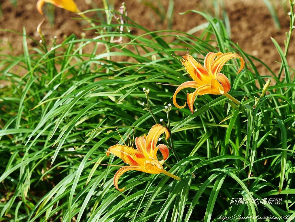 P1460762 (2)採蔥旁邊的金針花