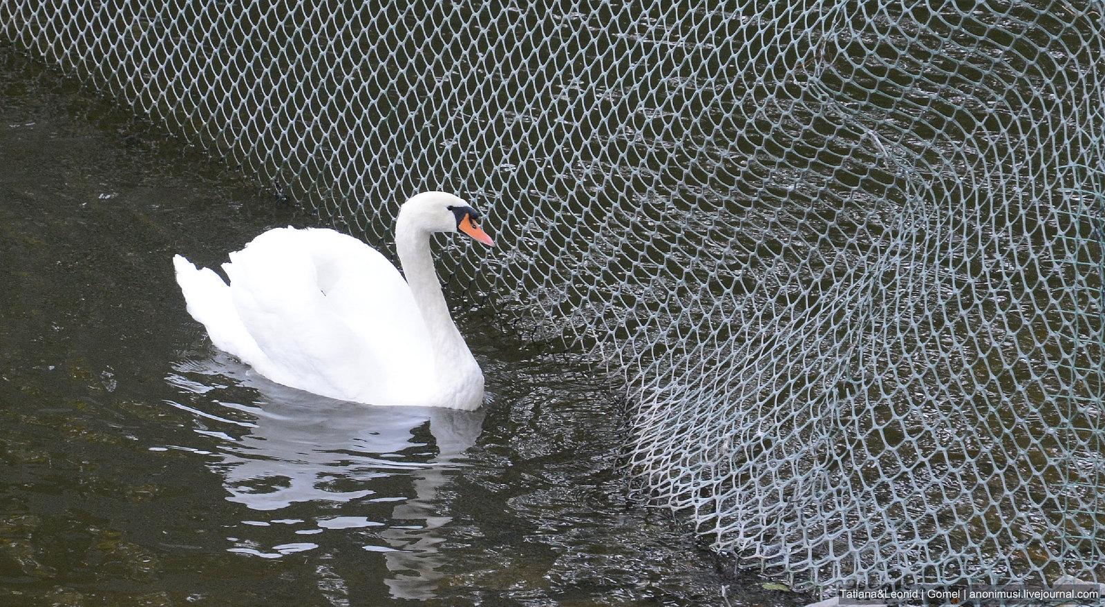 Лебеди в Гомельском парке