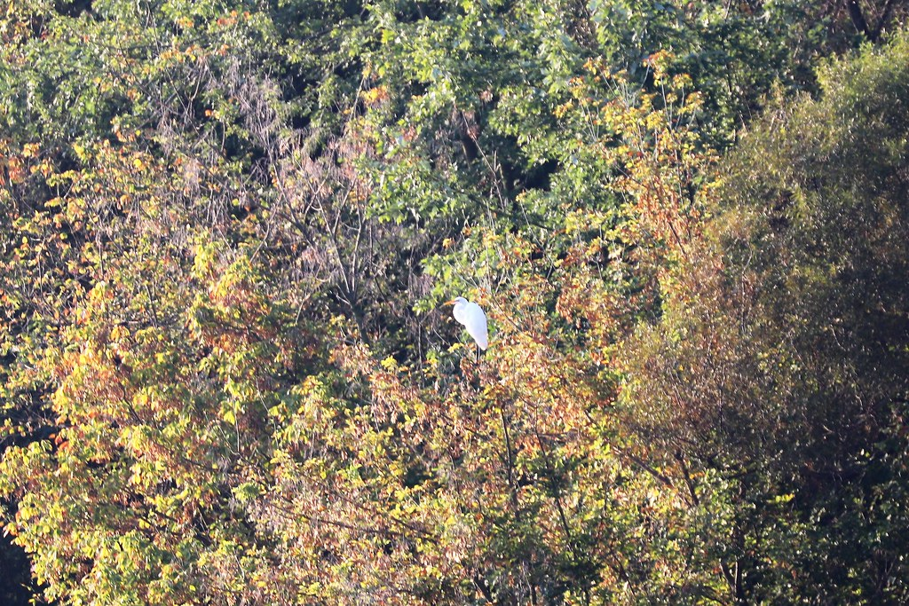 Egret perched in a tree above Scioto River
