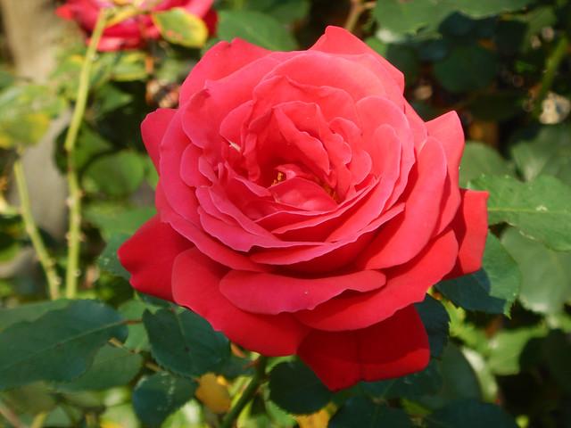 Deze roos bloeide vandaag, Nikon COOLPIX AW130