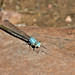 Powdered Dancer Damselfly