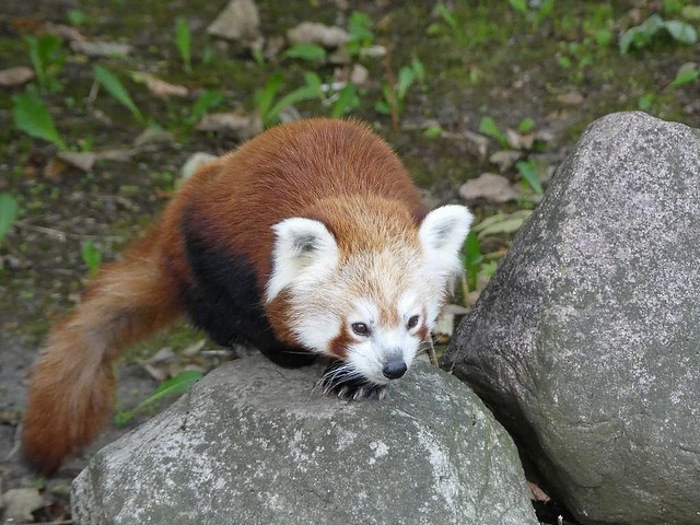 Roter Panda, Zoo Givskud