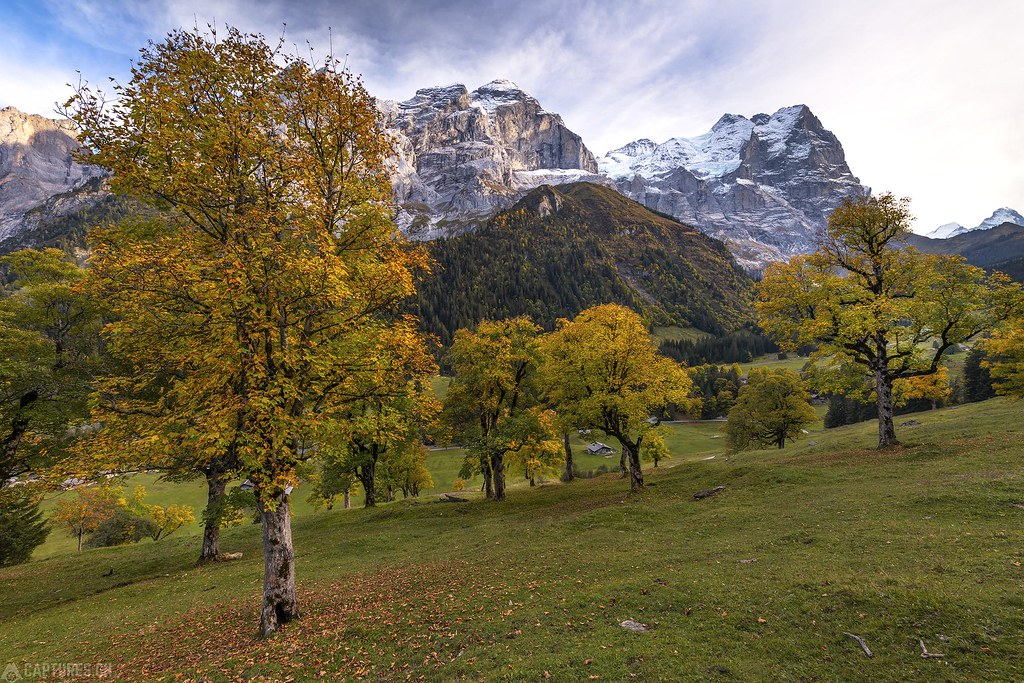 Ahorn trees - Rosenlaui