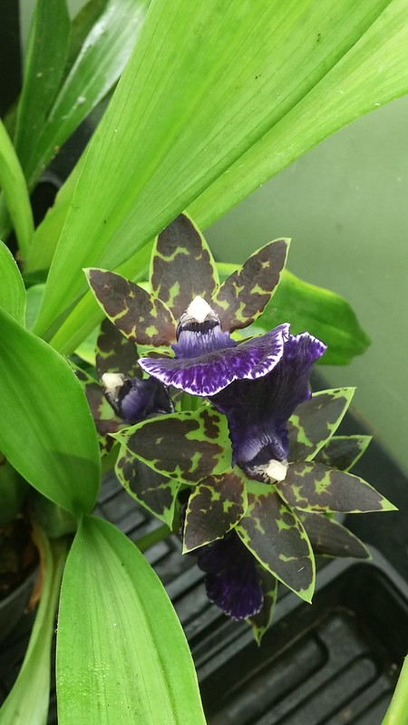Les orchidées chez Sougriwa - Page 9 31358997058_4090ee71a6_c