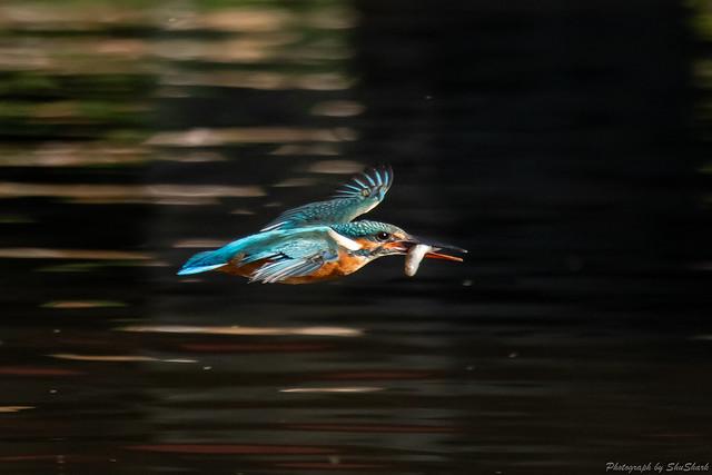 20181029-kingfisher-DSC_9549