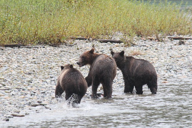 Grizzly bears, Ordford River, Canon EOS 600D, Canon EF-S 55-250mm f/4-5.6 IS