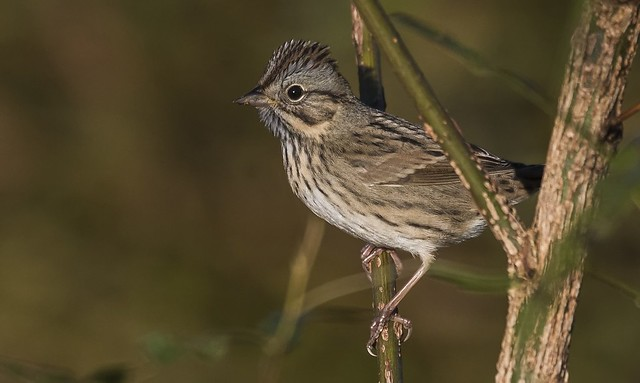 Lincoln's Sparrow in October