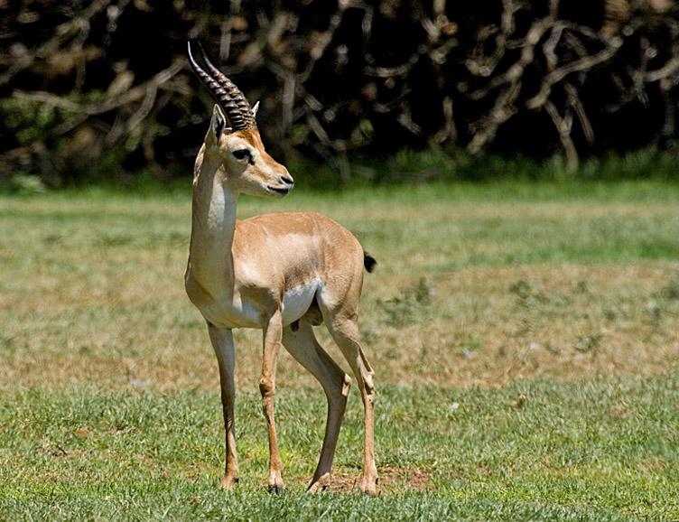Gazella gazella (Mountain Gazelle). Photo taken on October 27, 2007.
