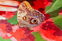 butterfly view of American painted lady