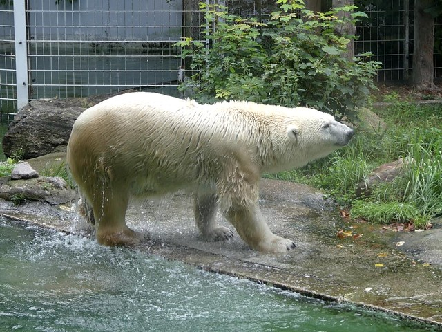 Eisbär Larissa, Tierpark Neumünster