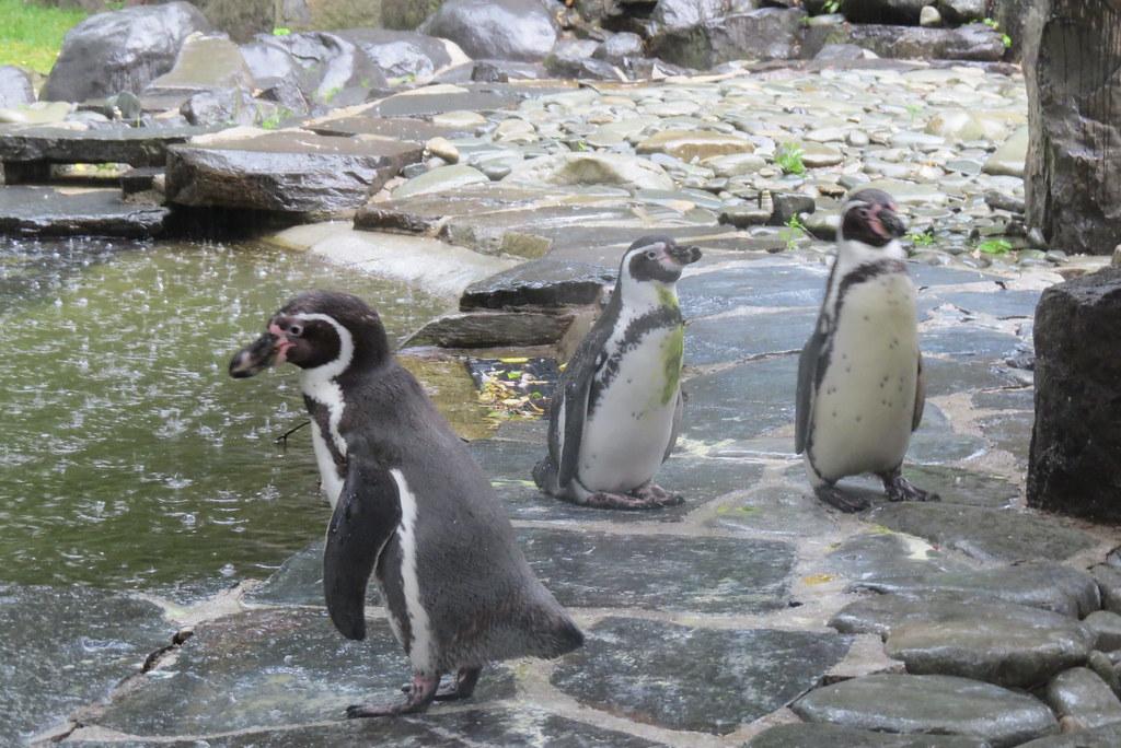 Пингвины под дождем.
