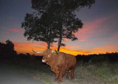 Big bull, Posbank, the Netherlands